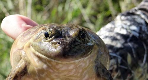 Jump at the Chance for Bullfrog Season