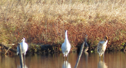 Whooping Crane population growing, but migration is changing