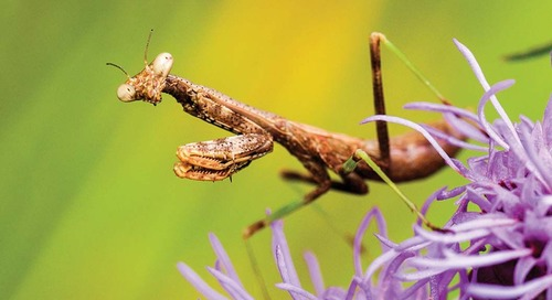 Protected: Nebraska's Praying Mantises