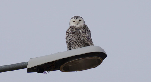 Snowy Owl surprise