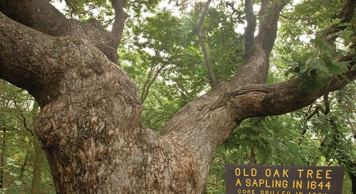 The Old Wolf Oak Tree