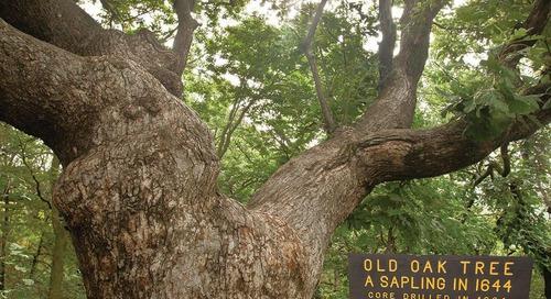 The Old Wolf Oak Tree