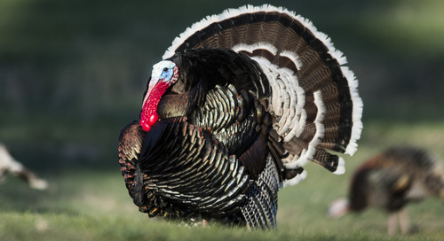 Nebraska spring turkey hunters report high satisfaction, success
