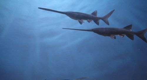 Application Period for Archery Paddlefish Permits