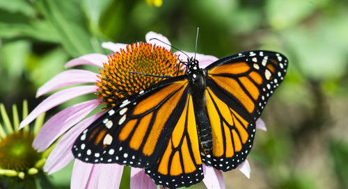 New plan aims to reverse monarch butterfly decline