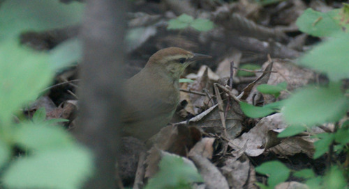 Mega-rarity:  Swainson's Warbler at Wilderness Park