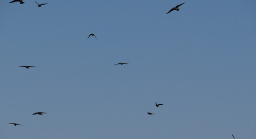 Cool Cliff Swallows (Of The Big Papio And Beyond)