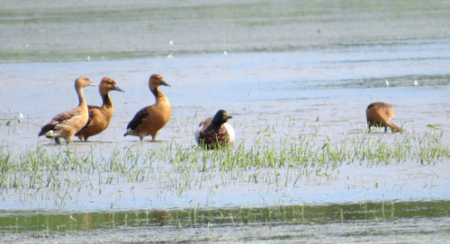 Mega-rarity:  Fulvous Whistling-Ducks at Wagon Train Lake