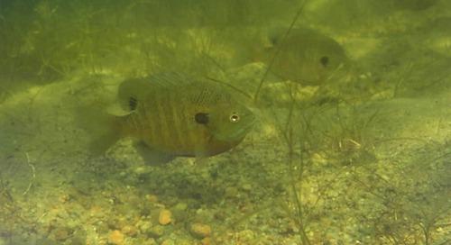 Spring Fish Die-Offs