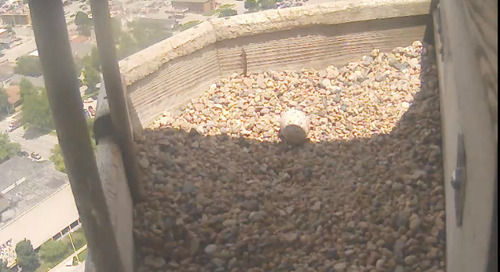 Peregrine Falcons unsuccessful – again