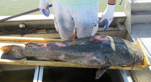 Catfish Rut