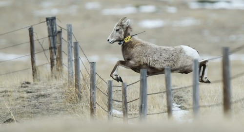 Fort Robinson, Wildcat Hills offer bighorn sheep viewing events