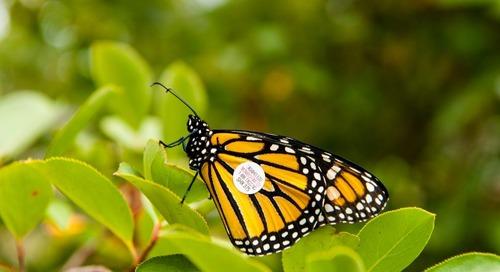 Tag a Monarch