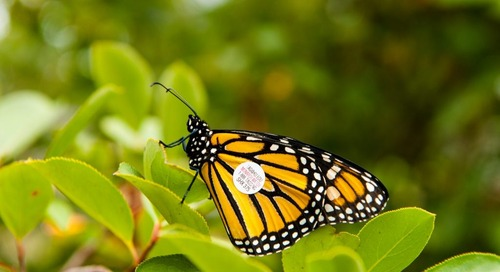 Tag a Monarch