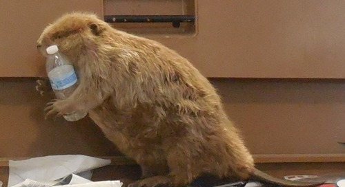 Pesky Beavers