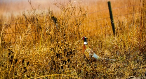 The Pheasant's Schedule And How To Hunt It