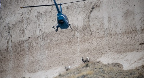 Bighorn sheep captured in the Panhandle