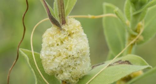 Dodder: A Parasitic Plant