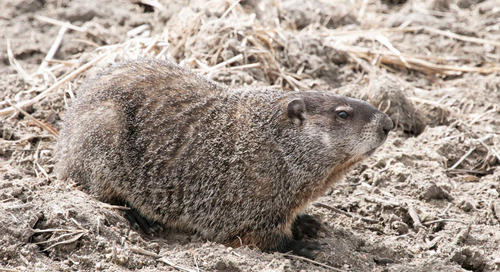 Advancing Groundhogs