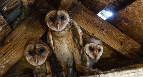 Barn Owl Rescue