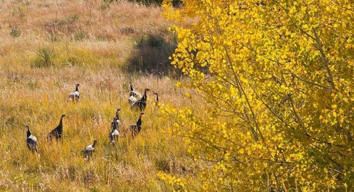 Deer hunters, buy a fall turkey permit