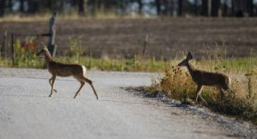 Motorists urged to use caution to avoid collisions with deer
