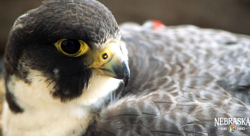 Partnership to provide peregrine falcon education resources