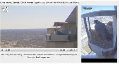 Peregrine Falcons Live! – Streaming Video
