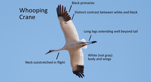 Distinguishing Whooping Cranes from similar species