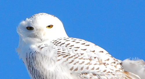 Snowy Owls moving into Nebraska?
