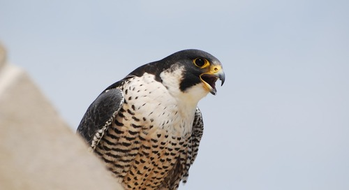 A Nebraska Peregrine Falcon appears in Texas