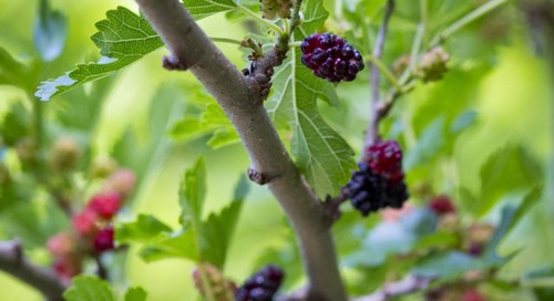 Summer Mulberries