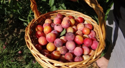 Plum Wild, Good and Ready