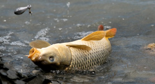 Carp Week: Eating It