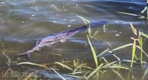 Paddlefish Stocking in Central Nebraska Canal System