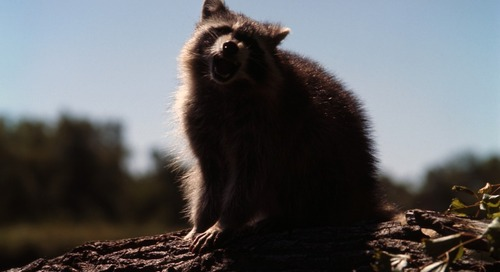 Raccoon Behaviors