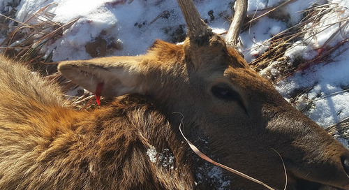 Information Wanted for Poached Bull Elk