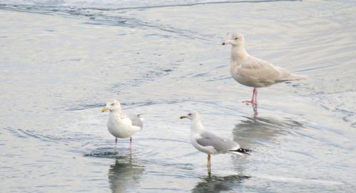 Eagle viewing, gulling heats up at Lake Ogallala