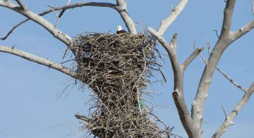 Bald Eagles break nest record in 2014