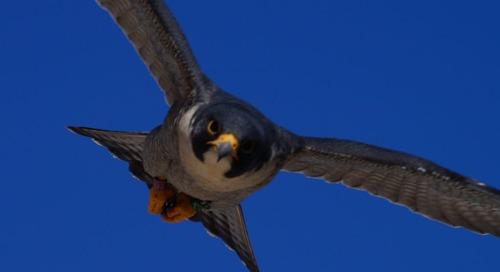Male Peregrine Falcon identified