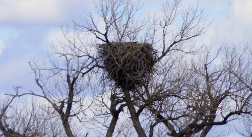 Checking Bald Eagle Nests!