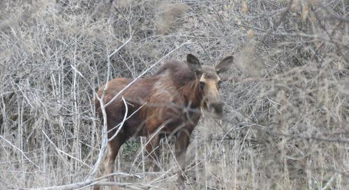 Moose Seen in Panhandle