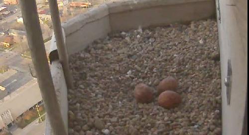 Peregrine Falcon egg #3