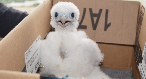 Capitol's Peregrine Falcon chick banded
