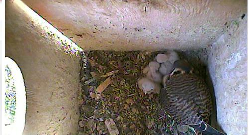 Double-brooding kestrels' eggs hatch