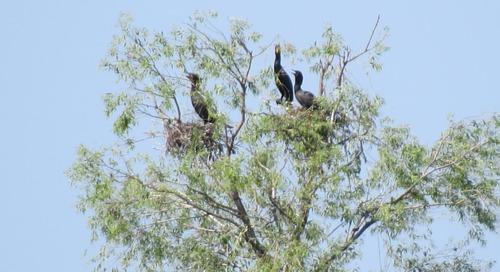Cormorants nesting in Rainwater Basin