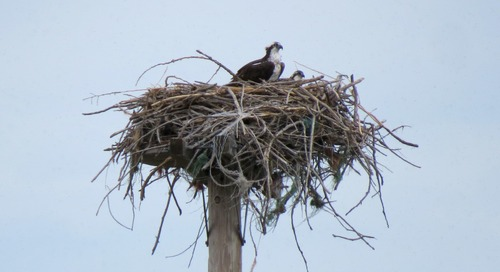 Ospreys on the verge of success?