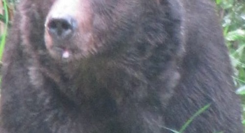 My encounters with grizzly bears