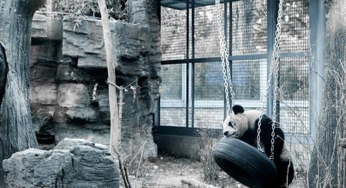 Melihat Kelakuan Panda yang Unyu-Unyu Emesssh dan Banyak Tingkah di Beijing Zoo, China!