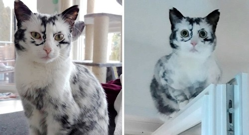Kitten's Tuxedo Coat Turns into Beautiful Snowflake Markings Due to a Rare Condition
